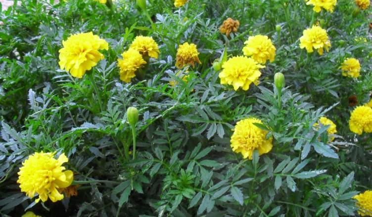 Why Marigolds in the garden? - Hunter Backyard Veggie Growers