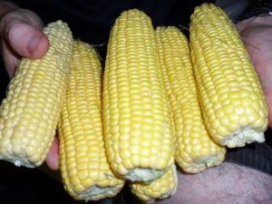 Sweet Corn Cobs