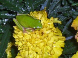Marigold and Frog