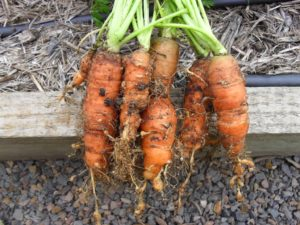 Carrots attacked by nematodes