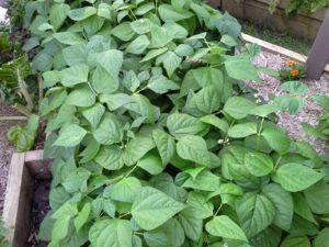 November Bush Beans