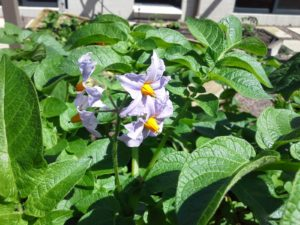 Spuds Flowering Potatoes