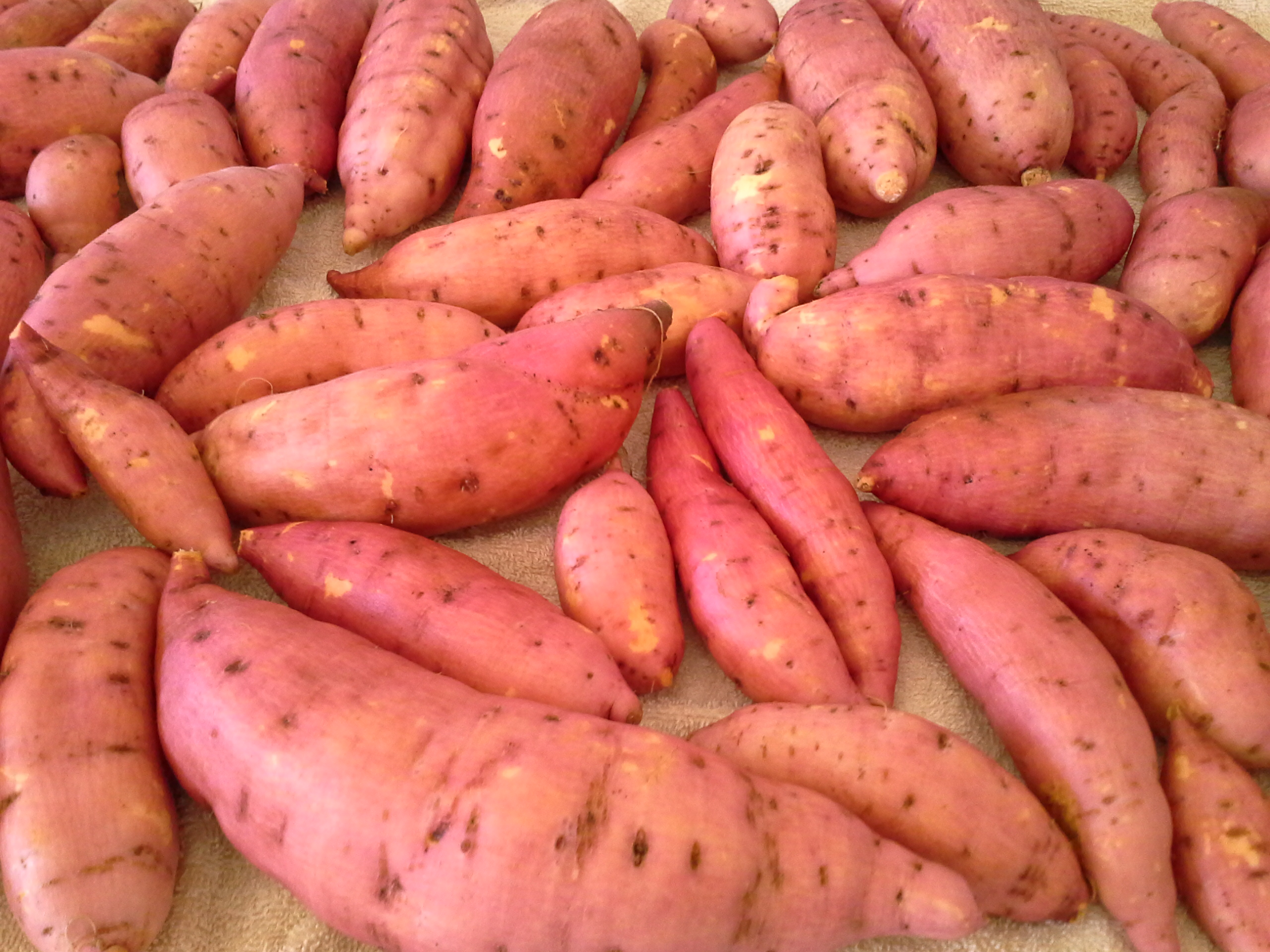 sweet potato heaven hunter backyard veggie growers