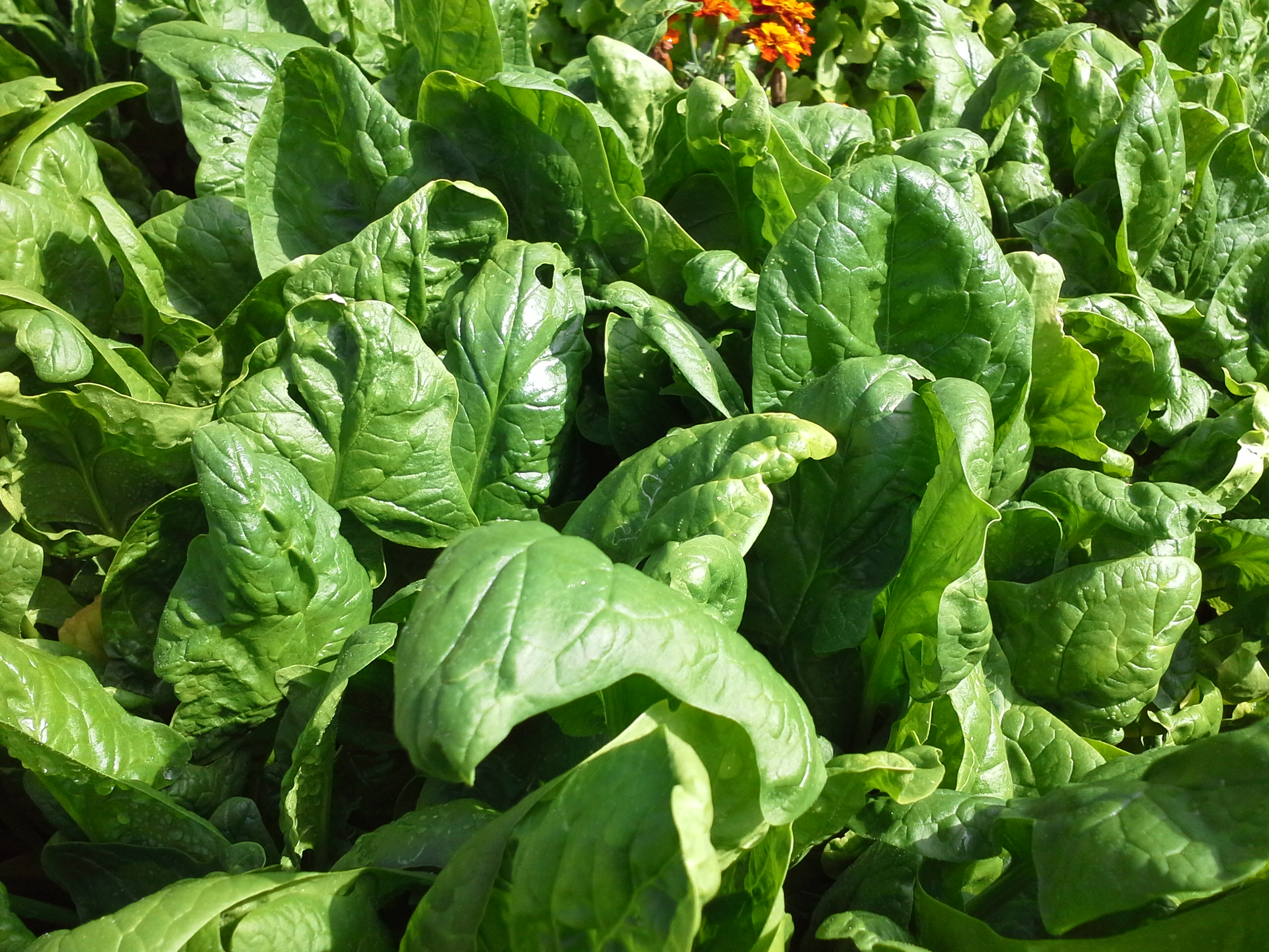 how to cook english spinach