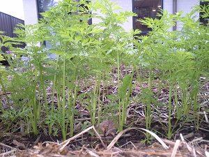CarrotSeedlingsHunterBackyardVeggieGrowers