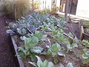 BrassicaHunterBackyardVeggieGrowers