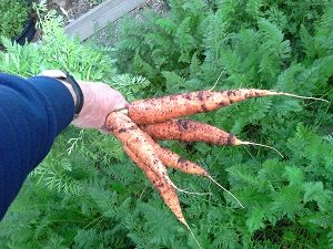 CarrotsHunterBackyardVeggieGrowers