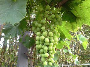 GrapesHunterBackyardVeggieGrowers