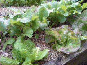 LettuceHunterBackyardVeggieGrowers
