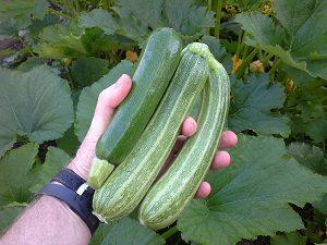 ZucchiniHunterBackyardVeggieGrowers