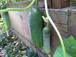 CucumbersHunterBackyardVeggieGrowers
