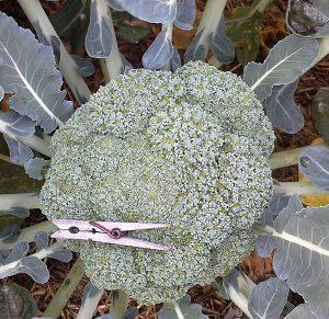 BroccoliHeadWithPegHunterBackyardVeggieGrowers