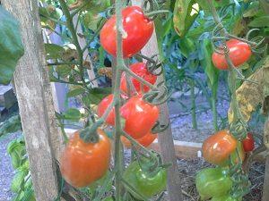 TomatoCherryHunterBackyardVeggieGrowers