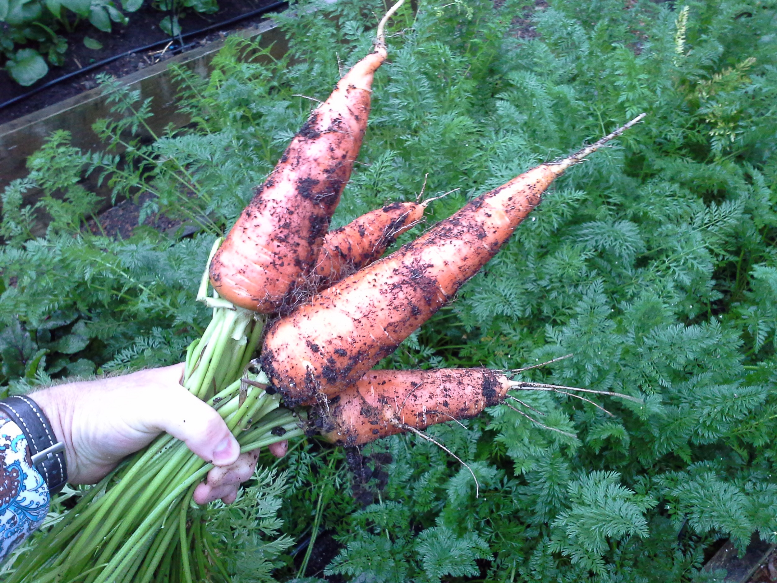 carrots archives hunter backyard veggie growers