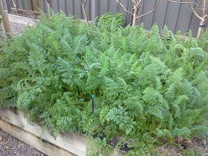 carrotscrophunterbackyardveggiegrowers