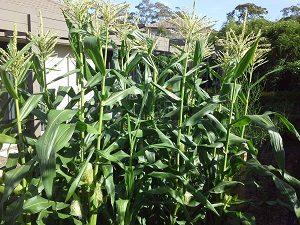 sweetcornplantshunterbackyardveggegrowers