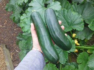zucchiniharvesthunterbackyardveggiegrowers