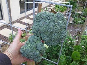 BroccoliHeadsHunterBackyardVeggieGrowers