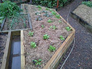 SeedlingsHunterBackyardVeggieGrowers