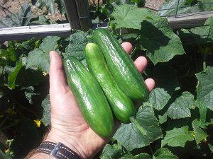 cucumberharvesthunterbackyardveggiegrowers