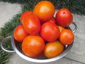 tomatoesharvesthunterbackyardveggiegrowers